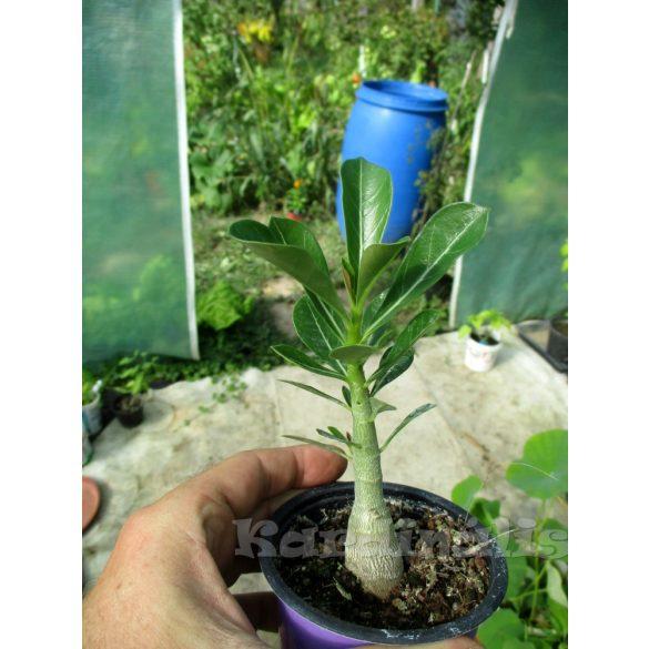 Adenium obesum hibrid,  telt virágú magonc.