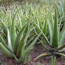 Aloe vera, orvosi aloe cserepes