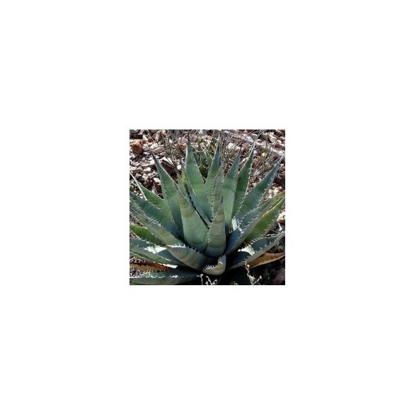 Agave desertii v. simplex 5 mag