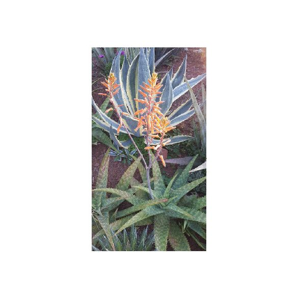 Aloe maculata 10 mag