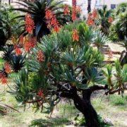 Aloe plicatilis 5 mag