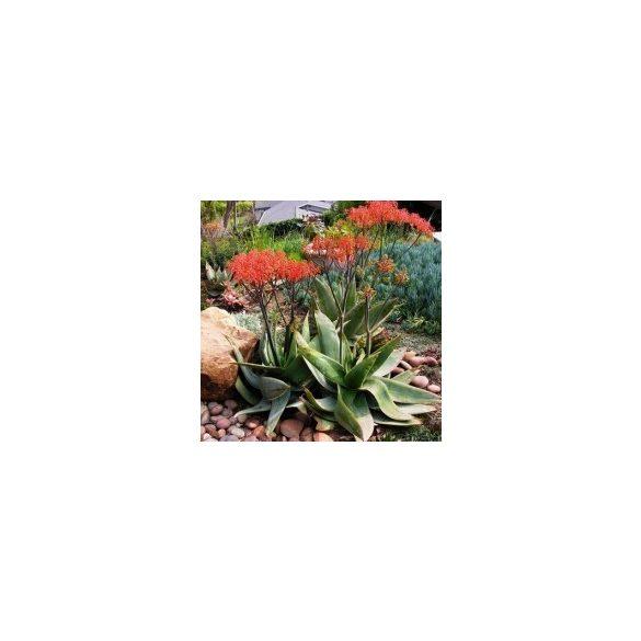 Aloe striata 5 mag