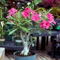 Adenium obesum hibrid 5 mag / telt virágú