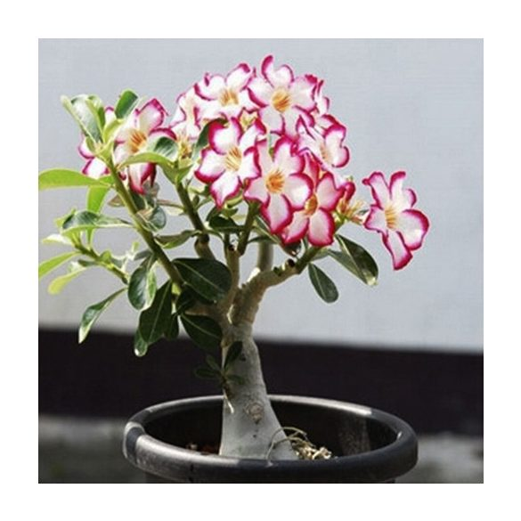 Adenium obesum vegyes 5 mag / szimpla virágú