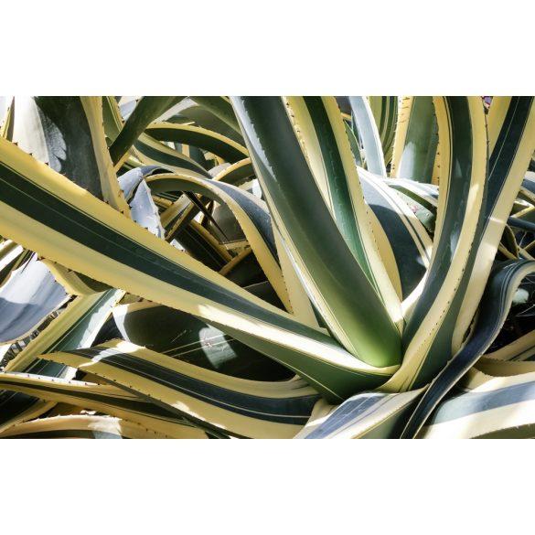 Agave americana, fiatal növény