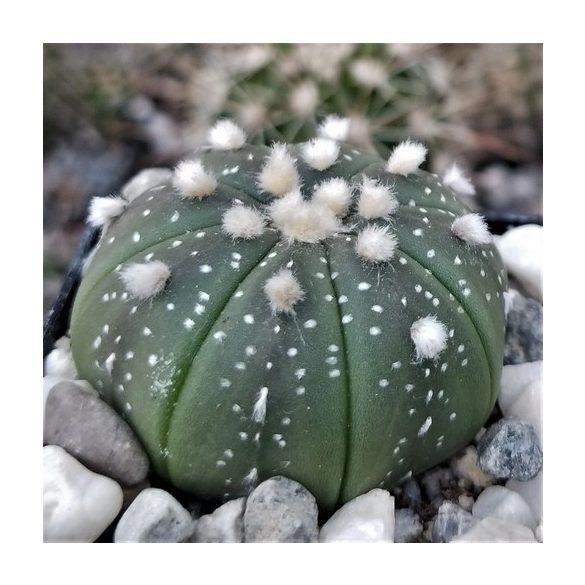 Astrophytum asterias 10 mag