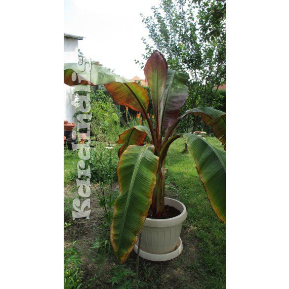 Ensete ventricosum Abesszin vörös banán növény  Abyssinian Banana