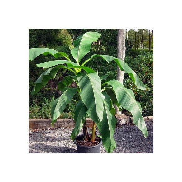 Musa Basjoo Japán banán kis növény