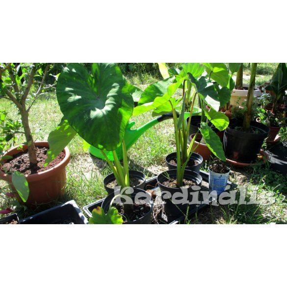 Colocasia-esculenta