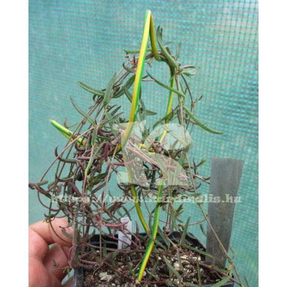Ceropegi Linearis ssp. Debilis virágzóképes növény