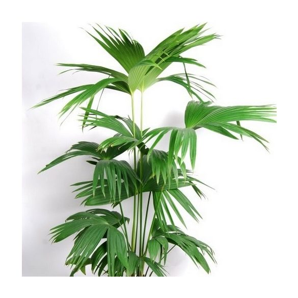 Carludovica palmata 10 mag