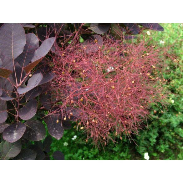 Cotinus coggygria 'Royal Purple'  Vörös levelű cserszömörce