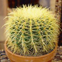 Echinocactus grusonii 10 mag