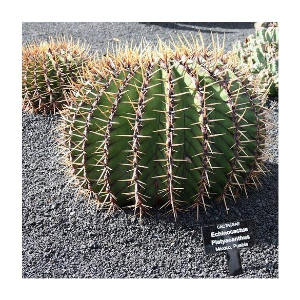 Echinocactus platyacanthus 10 mag