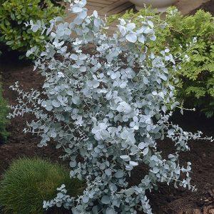 Eucalyptus gunnii konténeres növény
