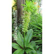 Eucomis bicolor - 1 hagyma