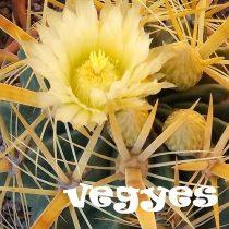 Ferocactus vegyes 15  mag