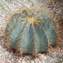 Ferocactus glaucescens 10  mag