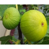 Ficus carica, Zöld Óriás füge