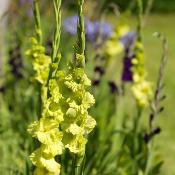 Gladiolus Green Star eladó