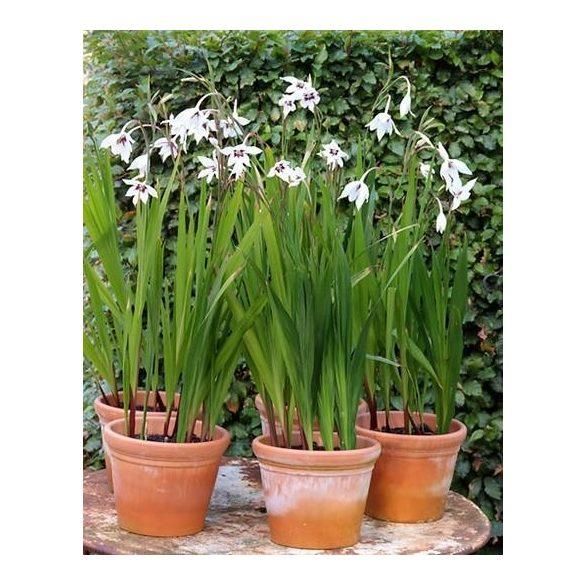 Gladiolus Callianthus eladó