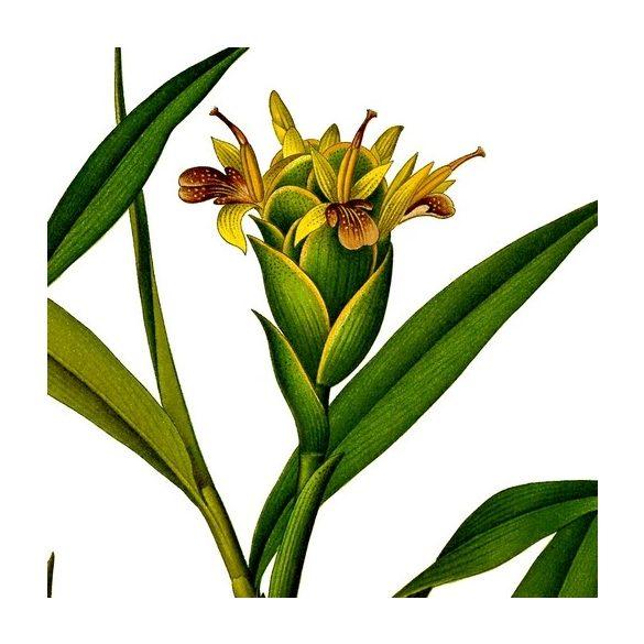 Gyömbér - Zingiber officinale növény