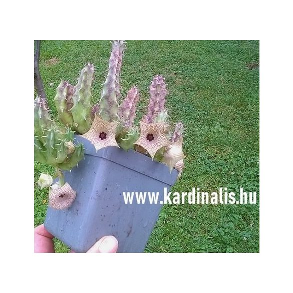 Huernia yemenensis