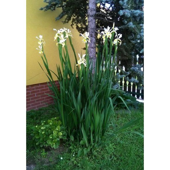 Iris gigantea eladó