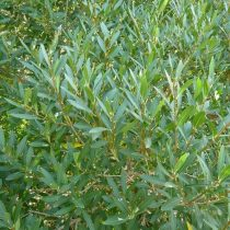 Phillyrea angustifolia, Keskenylevelű olajfagyal
