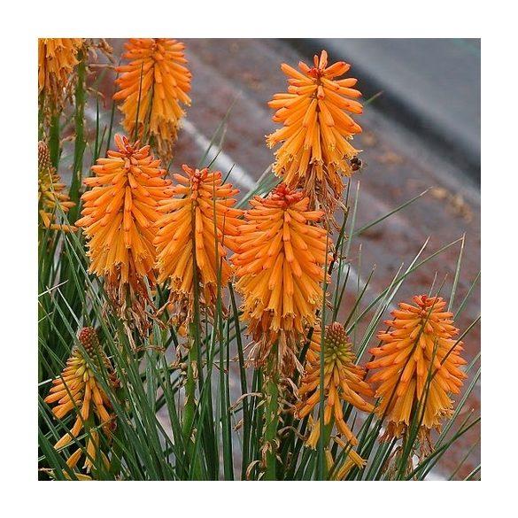 Kniphofia uvaria Poco Orange, cserepes.