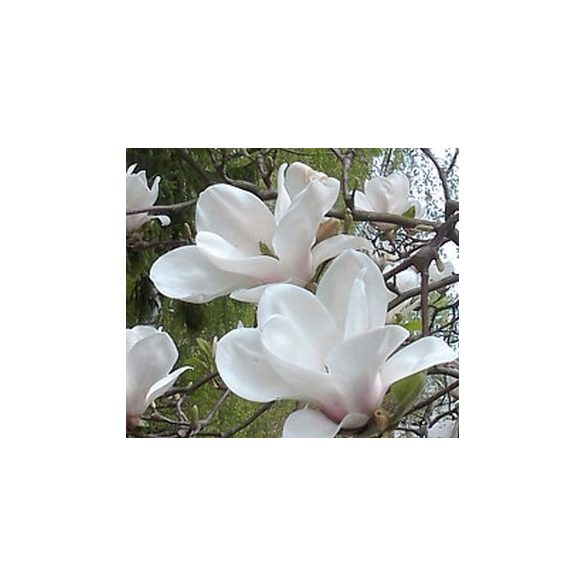 Magnolia 'Alba Superba' Fehér virágú magnolia, liliomfa