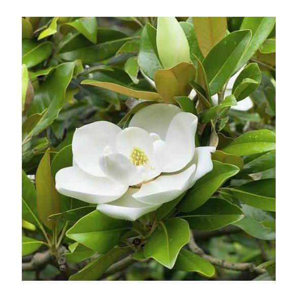 Magnolia grandiflora Edith Bogue, Örökzöld magnolia