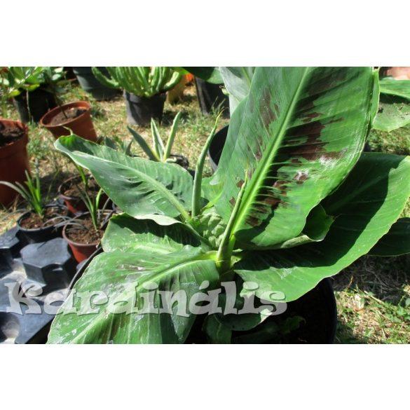 Musa nana, törpebanán, kis növény
