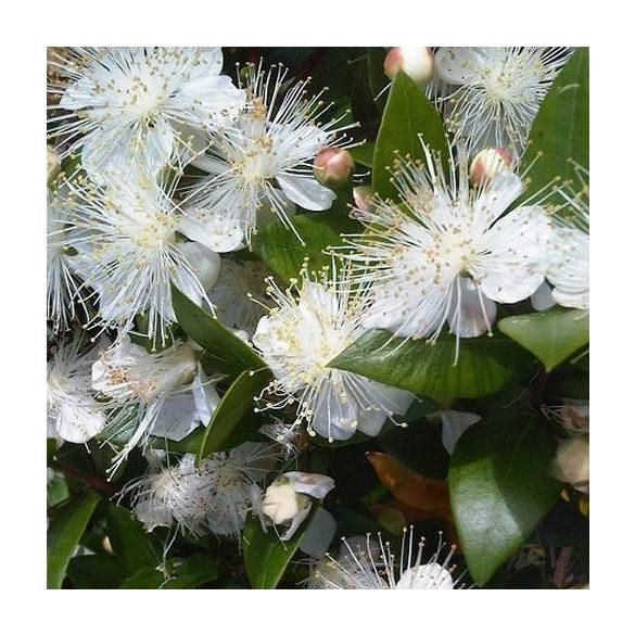 Myrtus communis, valódi mirtusz