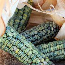 Oaxacan Green Zöld kukorica 10 mag