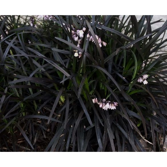 Ophiopogon planiscapus 'Nigrescens'