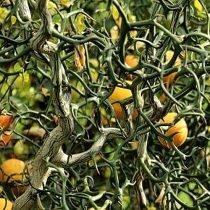 Poncirus trifoliata var. 'Flying Dragon' Csavartvesszőjű télálló japán vadcitrom