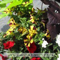 Dézsás pakk (004) 6 növény
