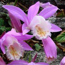 Pleione formosanum 1 hagyma csoport.