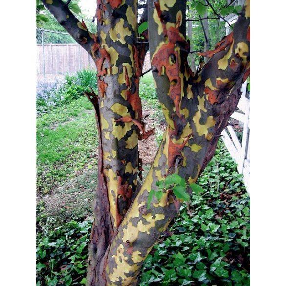 Pseudocydonia sinensis – kínai hamisbirs