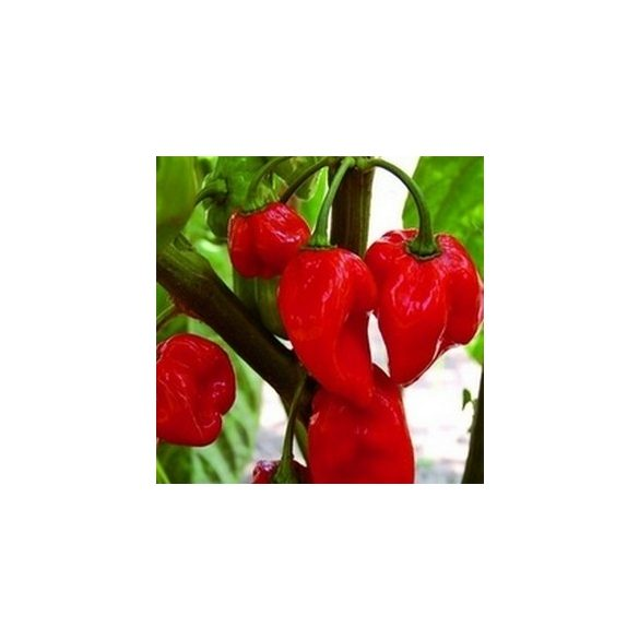 Red Savina 10 mag