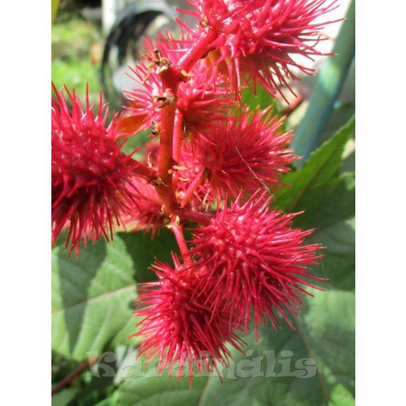 Csodafa - Ricinus communis 5 mag