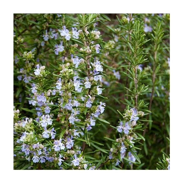 Rosmarinus officinalis, Rozmaring