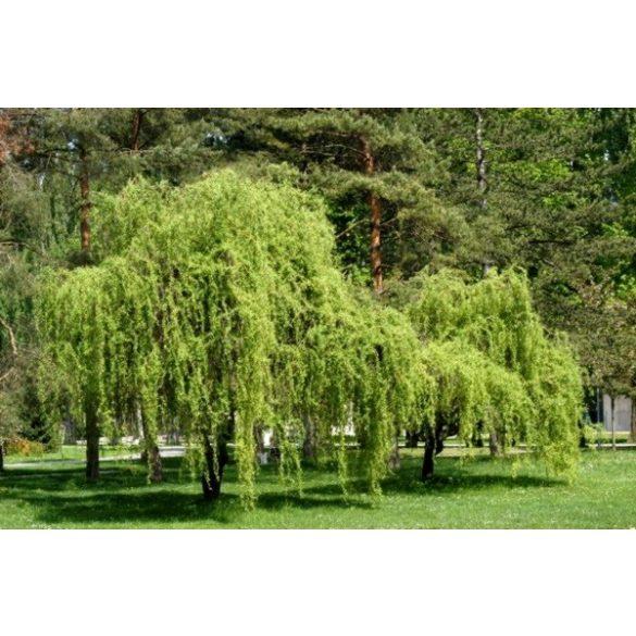 Salix matsudana, Spirálfűz