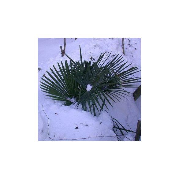 sabal minor pálma eladó szaporítóanyag