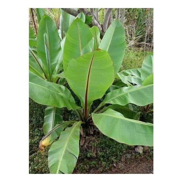 Ensete glaucum Abyssinia