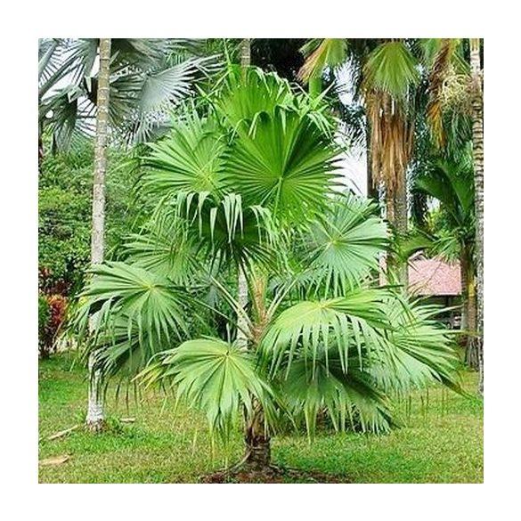 Thrinax parviflora 10 mag