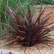 Phormium tenax Atropurpureum, Vörös levelű Új-Zélandi len