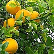 Télálló vadcitrom, Citrus trifoliata növény
