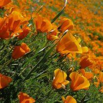 Eschscholzia californica 20 mag